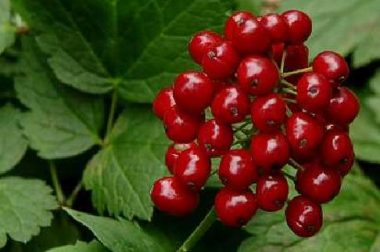 Red Baneberry-Ripened Fruit, Photo by Paul Drobot,