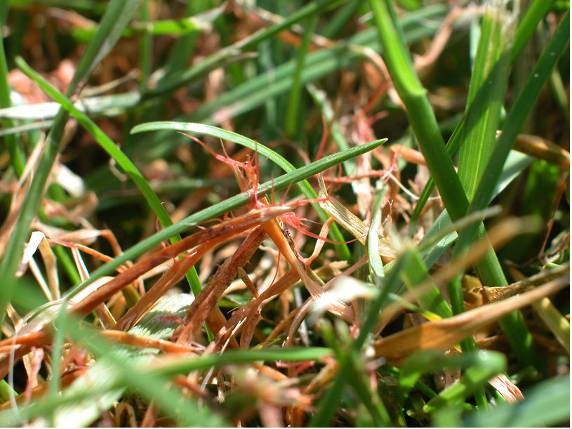 Lawn Disease Quick Reference - Wisconsin Horticulture