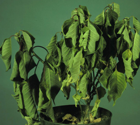 Wilting of poinsettia associated wtih Pythium root rot