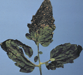 Septoria leaf spot. Note the whitish spots with dark borders characteristic of the disease.