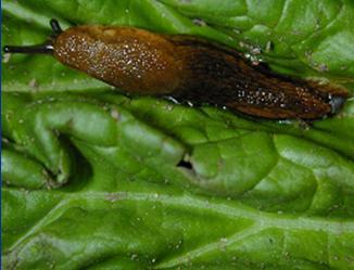 A slug commonly found in the garden.
