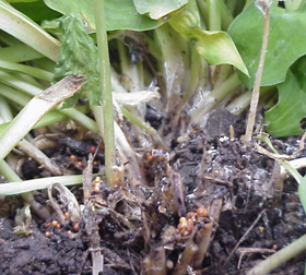 The southern blight fungus produces large numbers of spherical, light tan to dark red resting structures called sclerotia