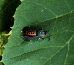 Adult sqaush vine borer