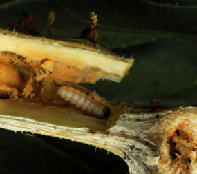 Squash vine borer larva in a vine