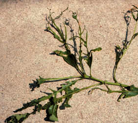 Leaves with tatters appear shredded, or as if damaged by leaf-feeding insects.