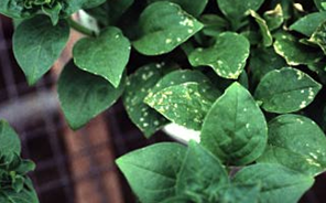 Managing Thrips in Greenhouses – Wisconsin Horticulture
