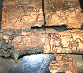 Two-lined chestnut borer galleries