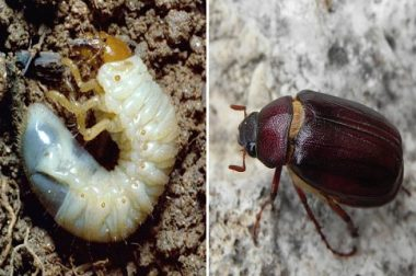 A typical white grub (left) and an adult May/June beetle (right). (Adult photo courtesy of Phil Pellitteri)