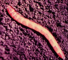 Wireworm larva