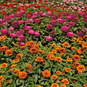 Zinnias Wisconsin Horticulture