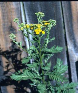 Invasive Plants Of Wisconsin Common Tansy Wisconsin