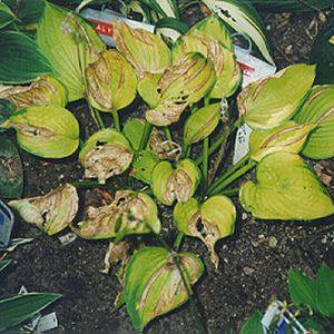 Foliar Nematodes Wisconsin Horticulture