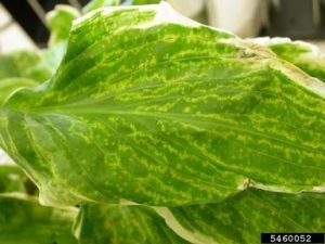 Blotchy leaf coloring (called mottling), discoloration along leaf veins and puckering of leaf tissue are typical symptoms of Hosta virus X. (Photo courtesy of Anette Phibbs)