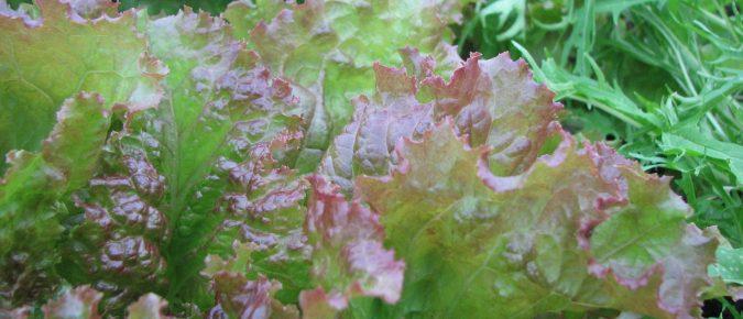 Growing Salad Greens in Wisconsin