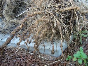 Root-knot nematodes cause swollen, distorted roots that can interfere with movement of water and nutrients within a plant.