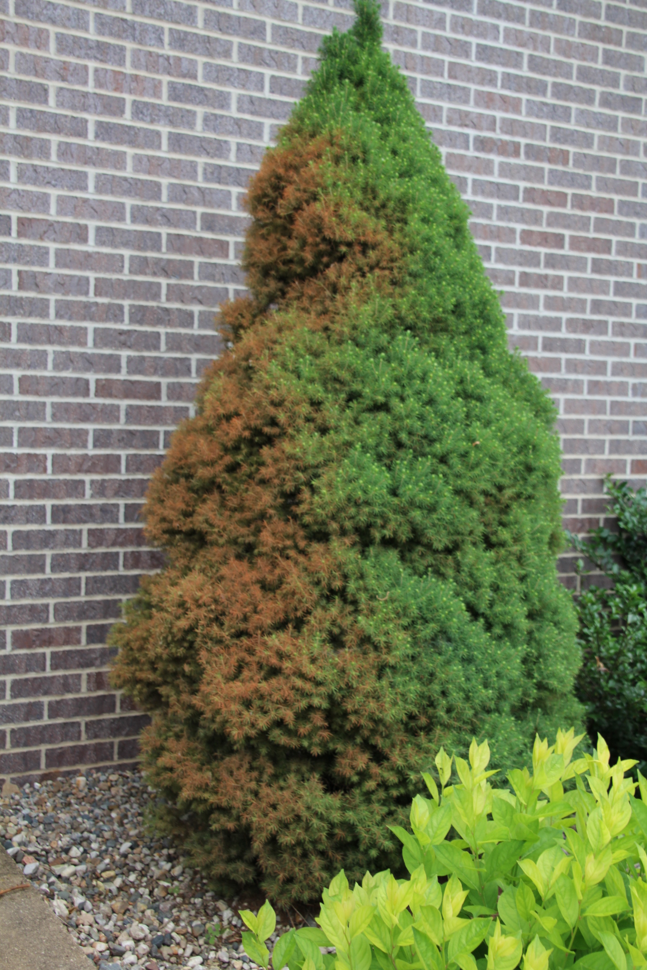 browning due to winter burn on dwarf alberta spruce - How To Keep Christmas Tree From Drying Out