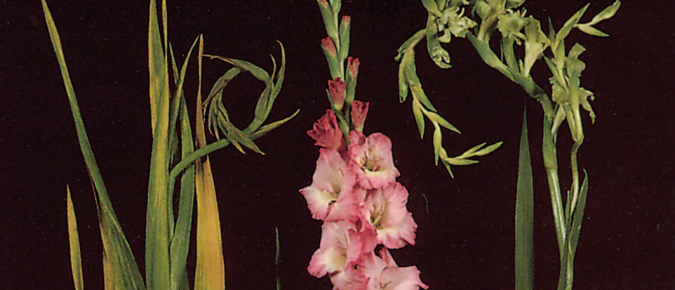 Gladiolus Disorder: Virus Complex and Aster Yellows
