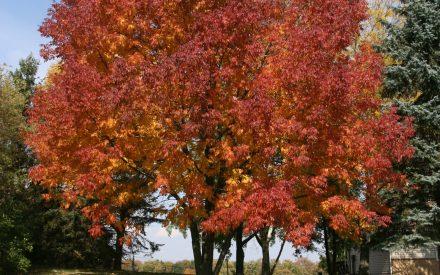 image ash tree in fall