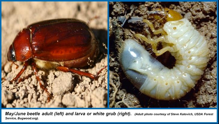 May June Beetles
