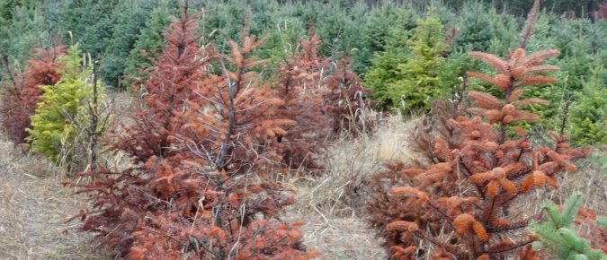 Phytophthora Root Rot of Christmas Trees