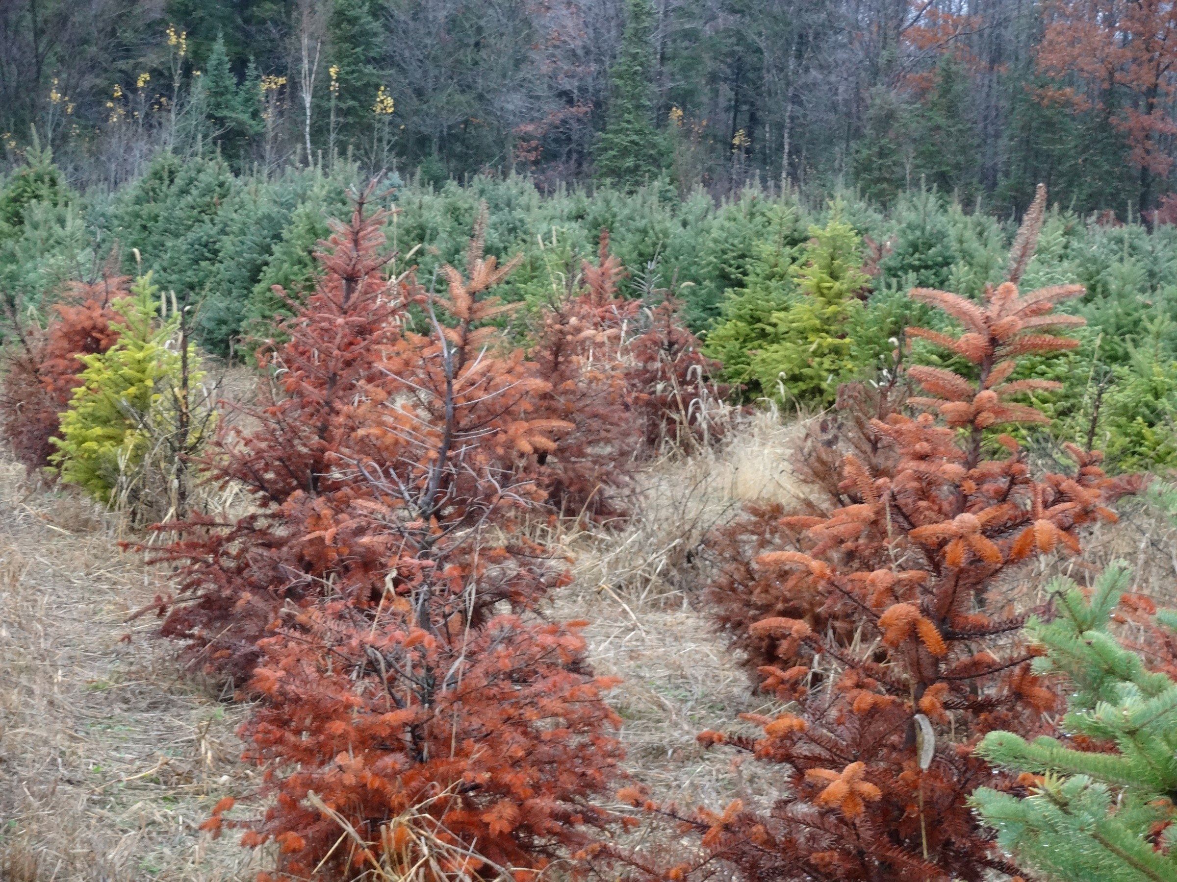 Phytophthora Root Rot Can Cause Severe Losses In Commercial Christmas Tree Production Photo Courtesy