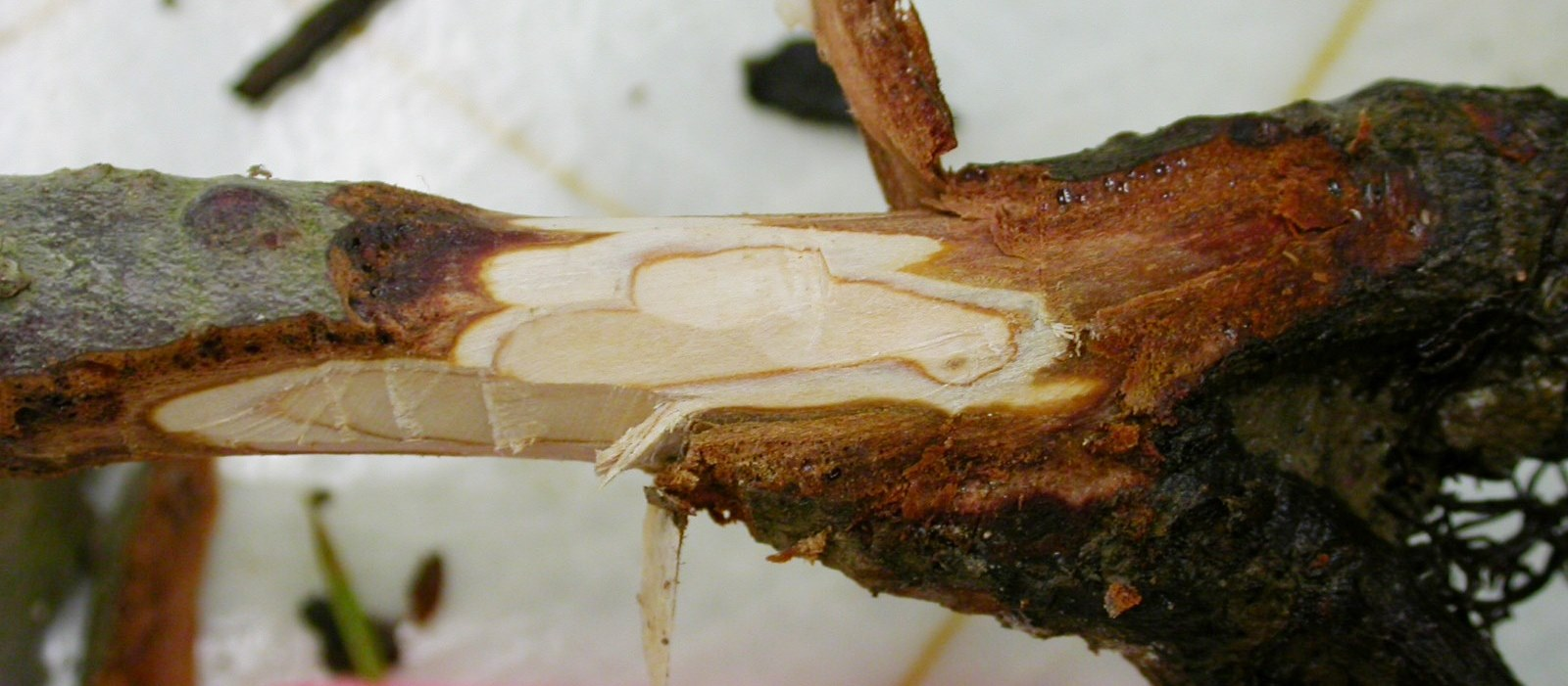 Extensive External And Internal Darkening Of Root Tissue Is Typical Phytophthora Rot