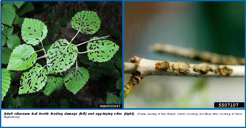 viburnum leaf beetle feeding damage