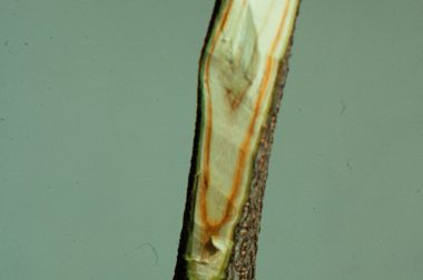 Internal streaking in the sapwood of a branch is typical of Verticillium wilt.