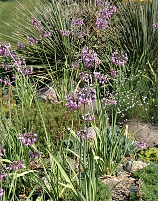 Nodding onion is a great addition to the rock garden.