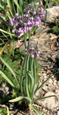 Nodding onion, Allium cernuum.