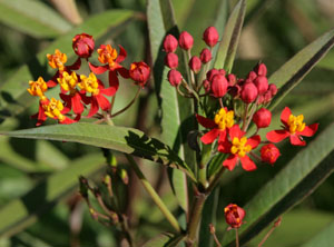 The showy red and orange flowers of Asclepias curassavica 'Deep Red'.