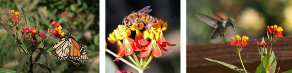 A monarch butterfly (L), honeybee (C) and rubythroated hummingbird (R) visit Asclepias curassavica flowers.