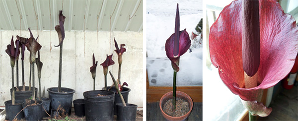 Amorphophallus konjac produces a single large, smelly flower from each bulb. Photos courtesy of David Waugh, Morningwood Farm, Mt. Horeb, WI.
