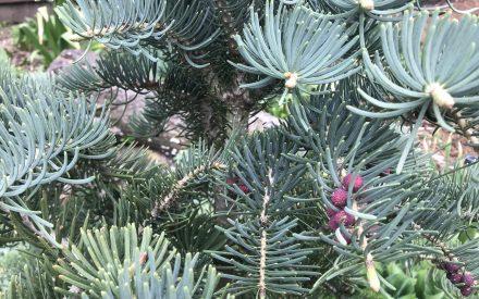 image of fir needles