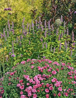 Use anise hyssop in mixed or perennial borders.