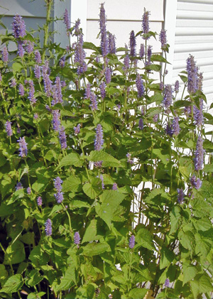Anise hyssop has an upright form.