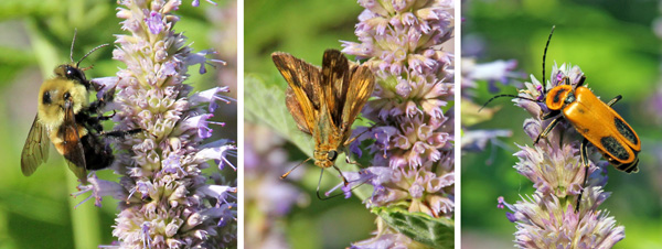 The flowers are attractive to many pollinators including bees (L), butterflies (C) and beetles (R).