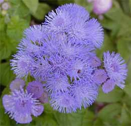 Ageratum is an annual with true blue flowers