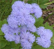 There are many different varieties of Ageratum.