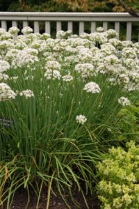 Garlic chives bloom in the fall.