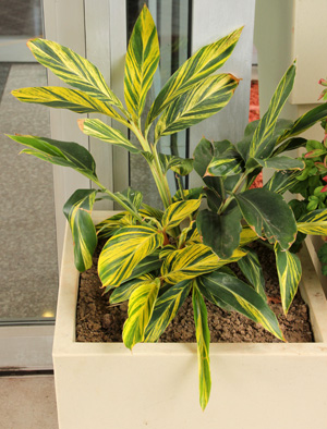 Variegated shell ginger is often grown as an annual in cool climates.