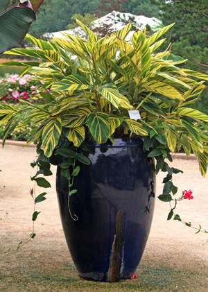 Variegated shell ginger makes a striking addition to containers.
