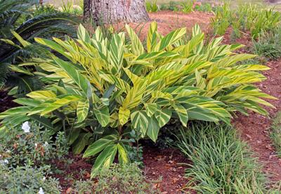 Variegated shell ginger, Alpinia zerumbet Variegata.
