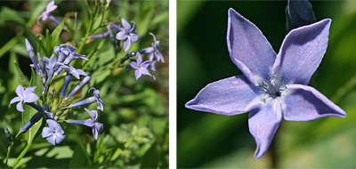 The blue, star-shaped flowers (R) are borne in terminal clusters (L).