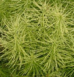 The narrow, needle-like leaves create a ferny appearance.