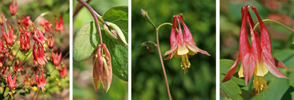 Eastern red columbine blooming (L), in bud (LC), flower (RC) and closeup (R).