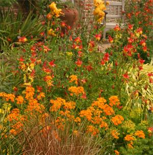 Eastern red columbine with orange wallflower and yellow iris at Sissinghurst, England.