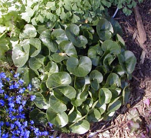 Asarum europeaum has attractive glossy leaves.