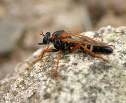 Robber fly, Chile.