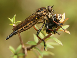 Robber fly with prey, New Zealand
